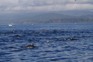 best pacific white sided dolphin fish 2