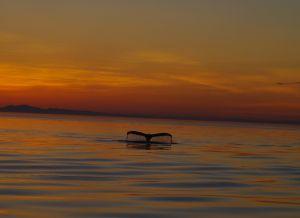 humpback October 5