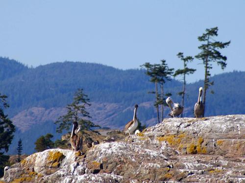 pelicans500